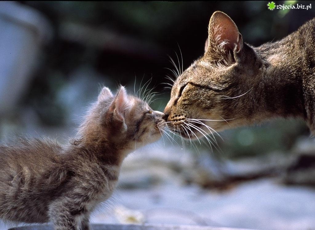 знакомство кошки с чужим котенком